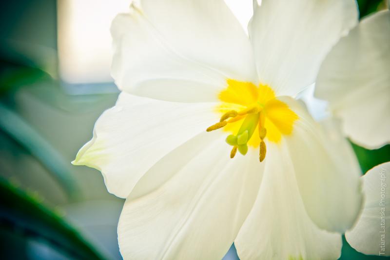 Фото Татьяны Латанской, Весна, тюльпаны