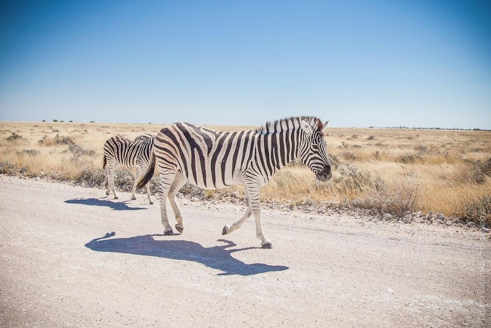 Намибия. Сафари. Фото Татьяны Латанской